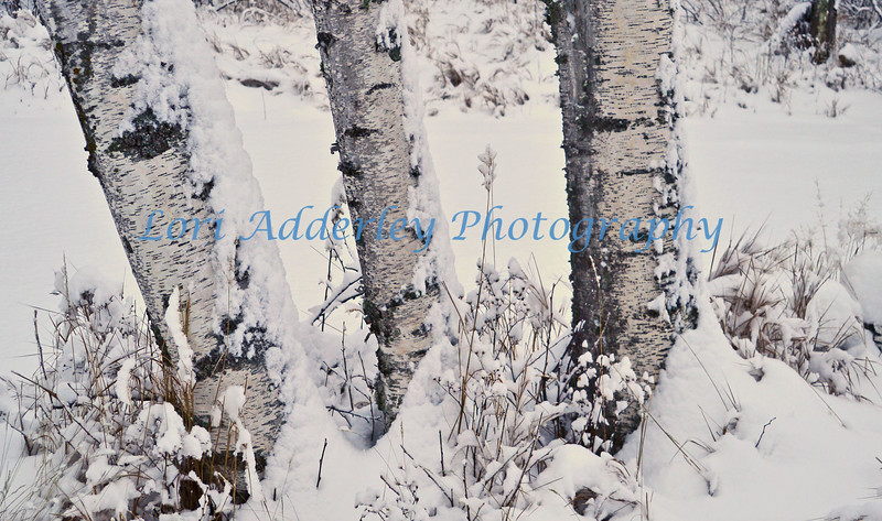 Winter white birch:Fresh fallen snow on winter grasses and paper white birch.