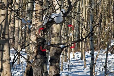 aspen trees - Espen