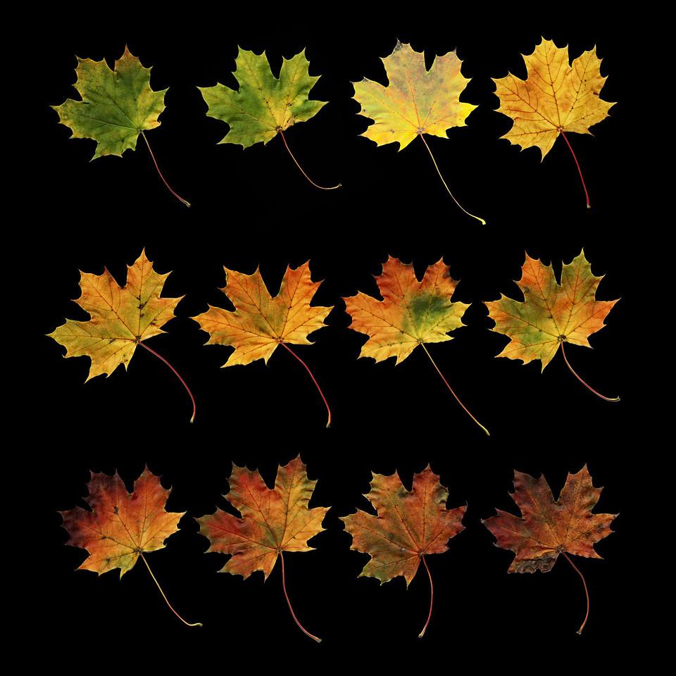 12 Leaves on Black