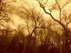 Sepia Trees 3