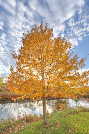 Yellow tree, Waltham MA