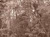 Sepia Trees 1