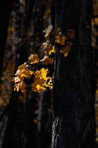Fall Leaves  10 27 09  032 - Edit - Edit