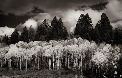 Aspens & Blue Spruce
