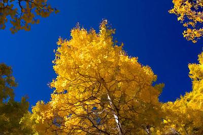 Aspen Tree 09-26-09 011 - Edit