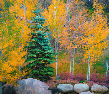 Blue Spruce & Aspen Trees