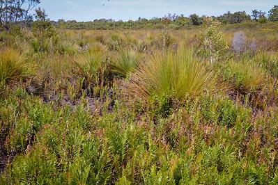 Wallum Heathland - Pine Ridge Conservation Park; Runaway Bay, Gold Coast, Queensland, Australia; 25 October 2012. Photos by Des Thureson