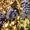 Grapes from Gray Ghost Vineyard.  These Grapes are harvested for the CAB SAUVIGNON wine they have.