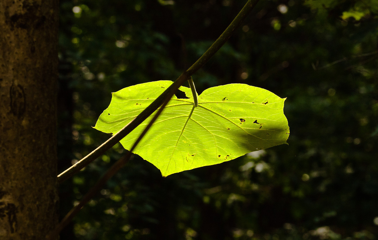 July 29, 2011-This caught my eye as I was in the backyard. It looked as if the leaf was glowing. I haven't been able to capture the globe glowing as it doesn't seem to be working. I forgot to put it outside in the sunlight and see if that will recharge it, the light in the house didn't work. (210:365)