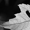 DSC06289_Back Side of Maple Leaf crop BW