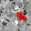 DSC06293_Red Maple decolorized
