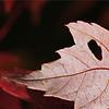 DSC06289_Back Side of Maple Leaf crop