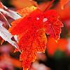 DSC06273_Orange Maple Leaf