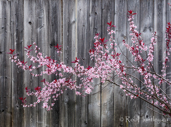 Purple Sandcherry in Bloom.