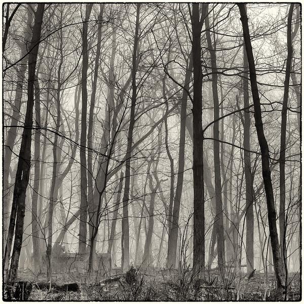 Trees in Fog : 6b