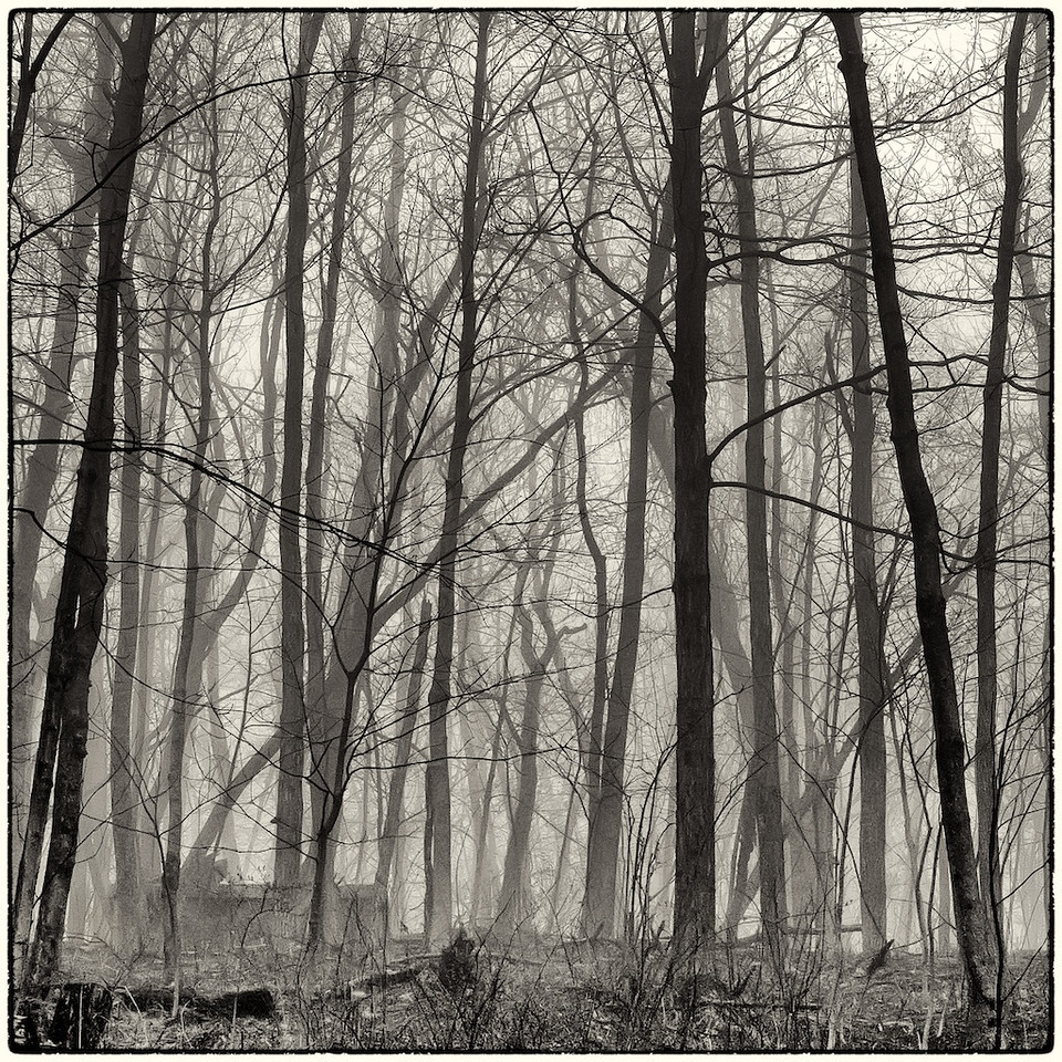 Trees in Fog : 6b
