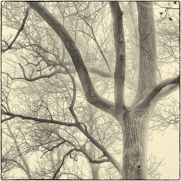 Trees in Fog : 7