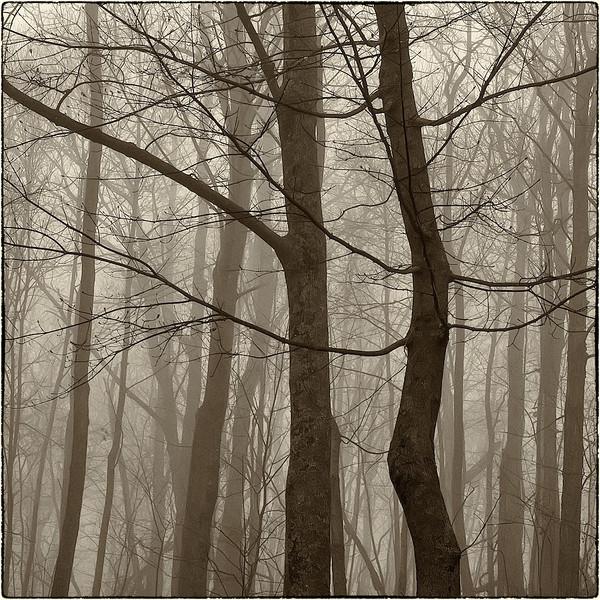 Trees in Fog : 4a