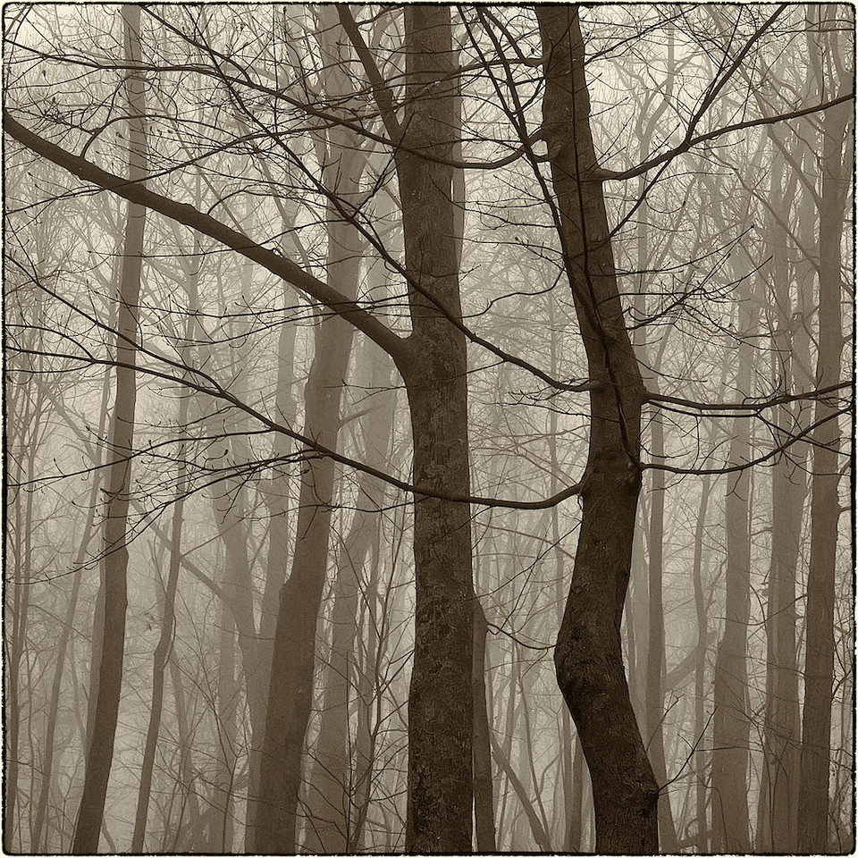 Trees in Fog : 4a