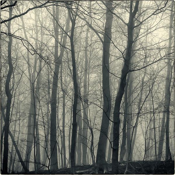 Trees in Fog : 1