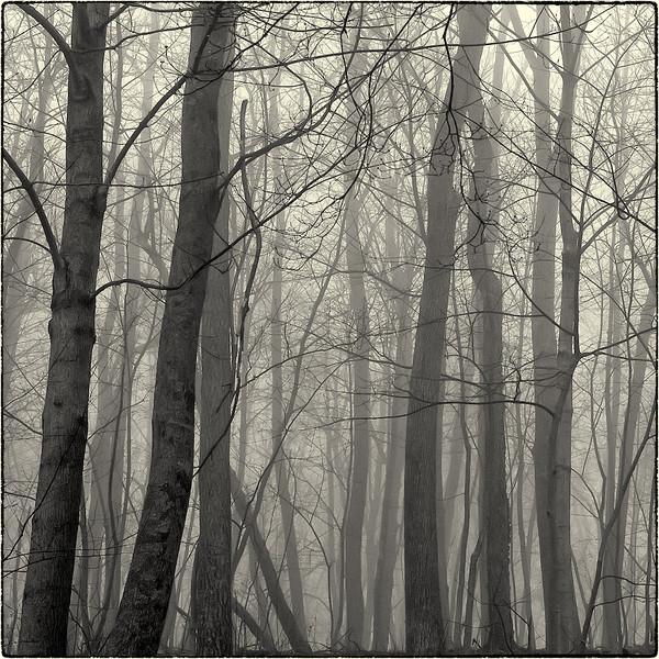 Trees in Fog : 3