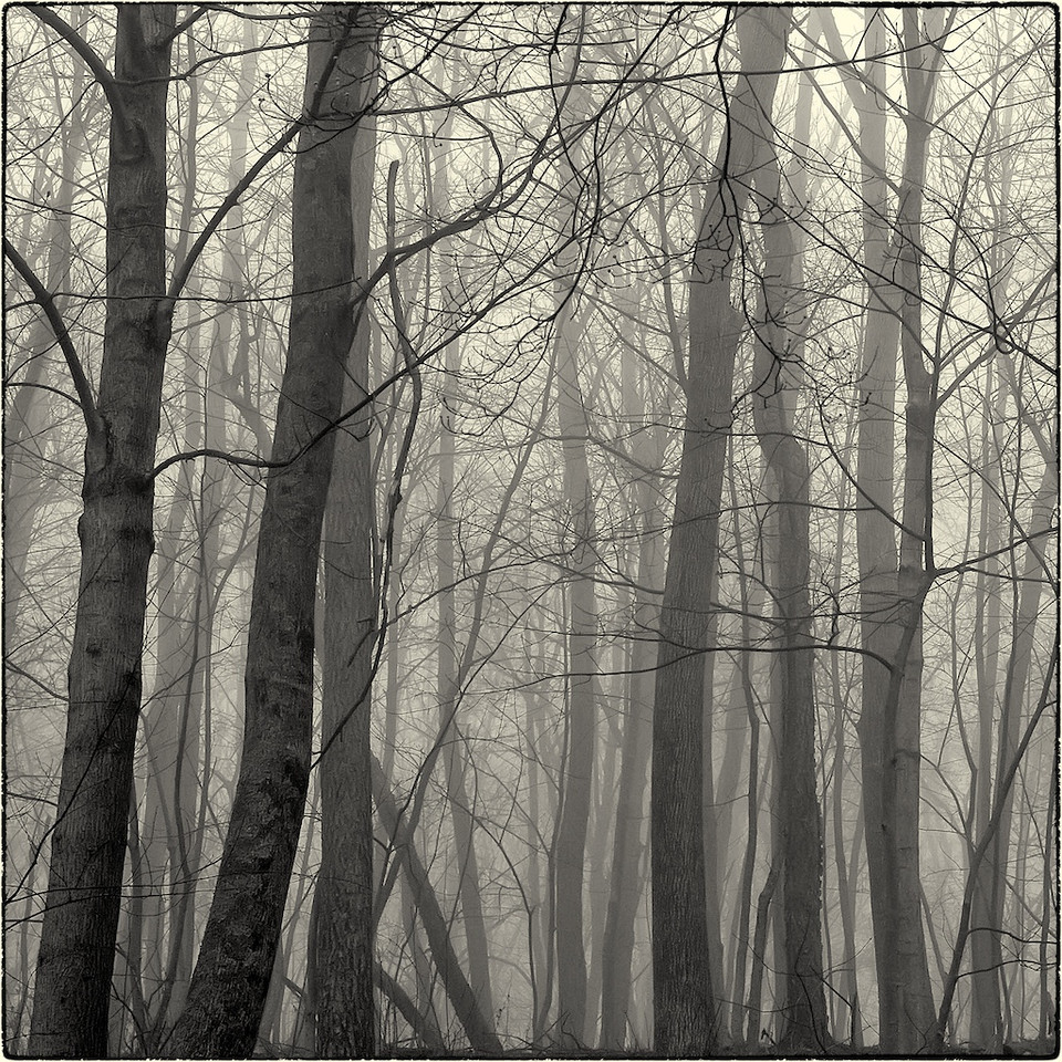 Trees in Fog : 3