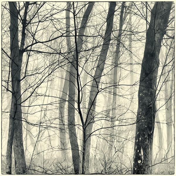 Trees in Fog : 5