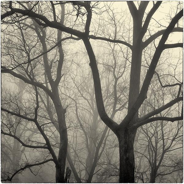 Trees in Fog : 8