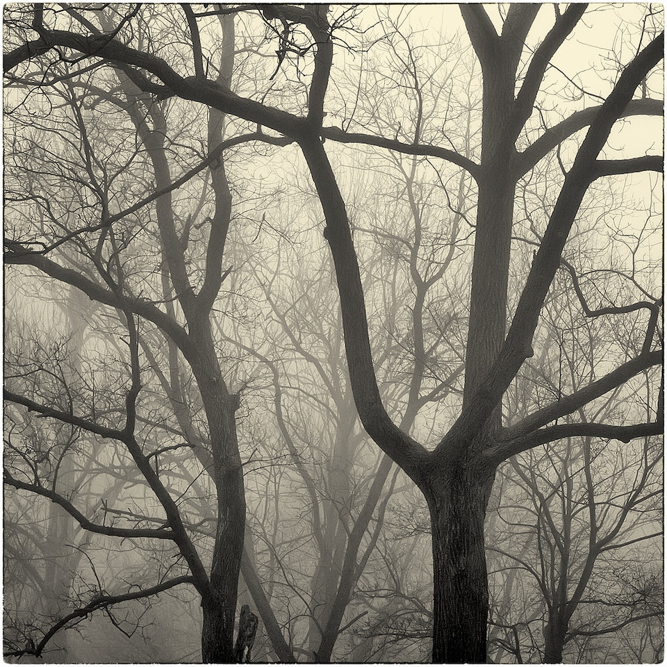 Trees in Fog : 8