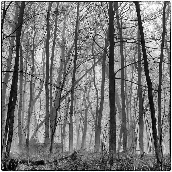 Trees in Fog : 6a
