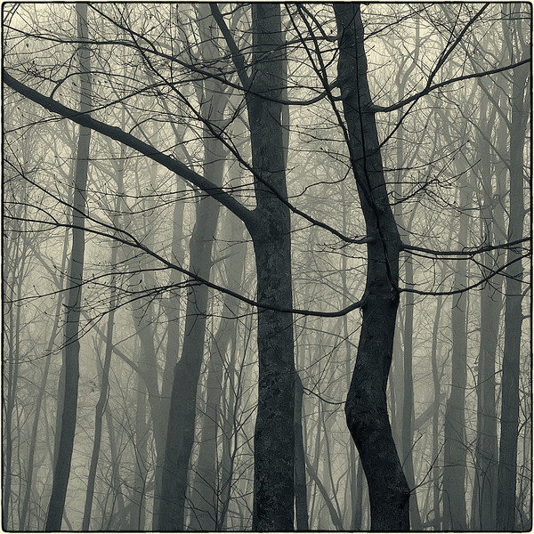Trees in Fog :4b