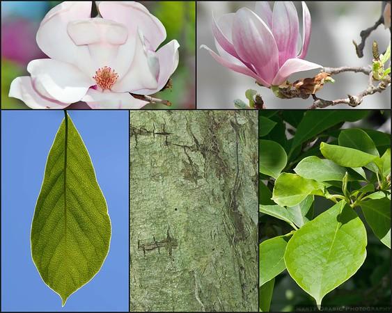 Saucer Magnolia (Magnolia × soulangeana)