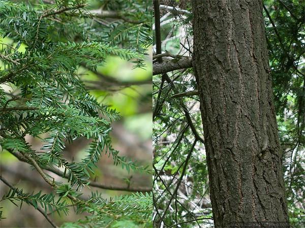 Eastern Hemlock (Tsunga canadensis)