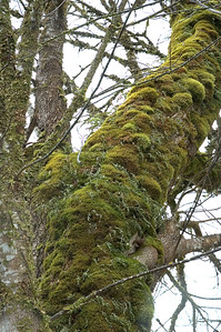 Moss covered tree along side of the Skagit River