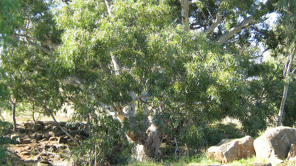 """This wonderful Big Red Gum is """"Brook"""" to visit Brook go along the Toolern Creek and just before the rail line there she stands"""
