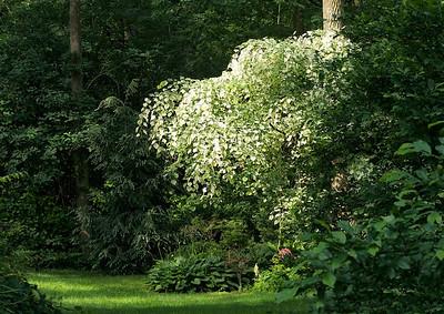 Silver Cloud: a varigated redbud tree