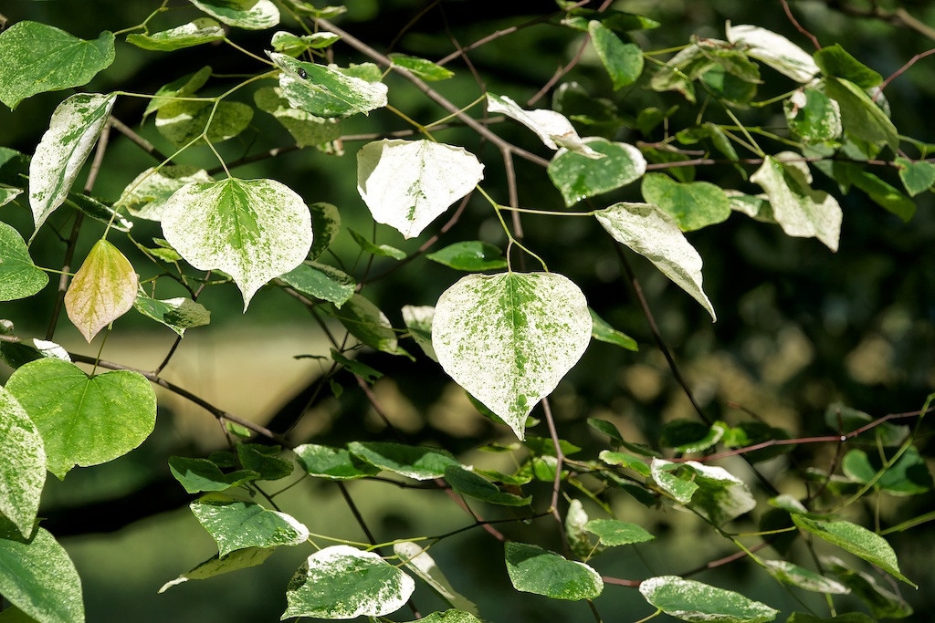 Silver Cloud:  a variegated redbud tree<br /> <br /> DSC9576
