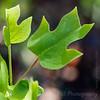 American tulip tree - Liriodendron tulipifera -3898
