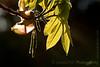 Shagbark hickory - Carya ovata  -4013<br /> <br /> Underside of freshly unfurled and still wrinkled Shagbark hickory leaves, backlit on a crisp Spring morning.
