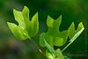 American tulip tree - Liriodendron tulipifera -3900