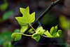 American tulip tree - Liriodendron tulipifera -3899