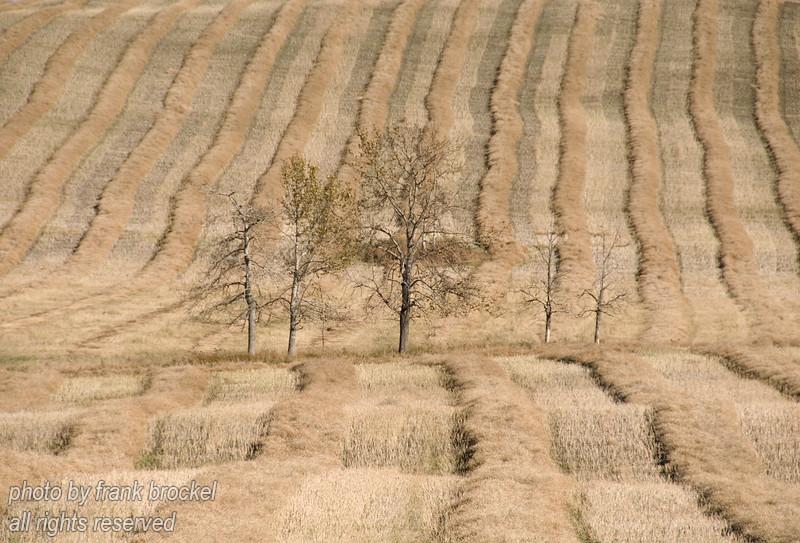 Poplars at Harvest Time