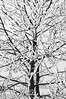 A tree covered in thick hoar frost - rendererd in B&W and high contrast