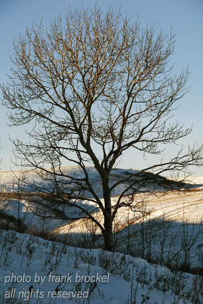 A poplar on a winters eve