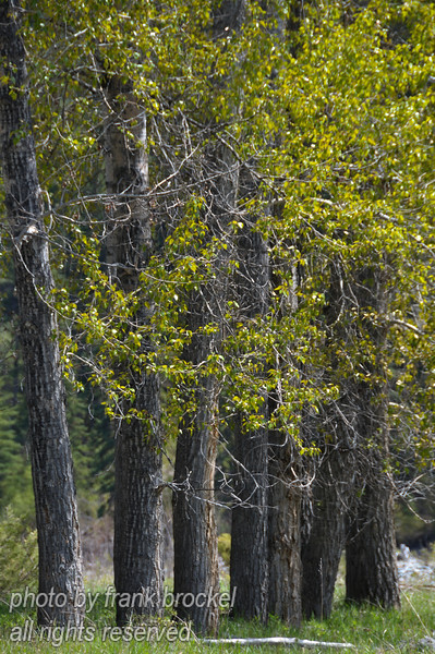 Cottonwood trees near the Elk River in S.E. British Columbia
