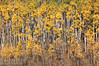A stand of poplars if full fall colours on the trunk road