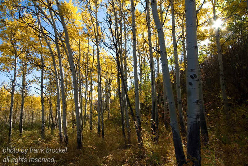 Fall colors in the poplars