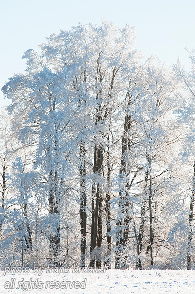 Poplars covered in thick hoar frost south of Quill Lakes, Saskatchewan.