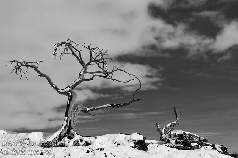 """The Burmis Tree near Burmis at the entrance to the Crowsnest Pass, Alberta.  Still photogenic after all these years but this tree has seen better times.  It has now been dead for about 30 years and some idiots cut a branch off for firewood. Still, there's something …<br /> This photo would look good on a website - for info how to purchase this photo contact us here: <a href=""""http://canadaweb.net"""">http://canadaweb.net</a>."""