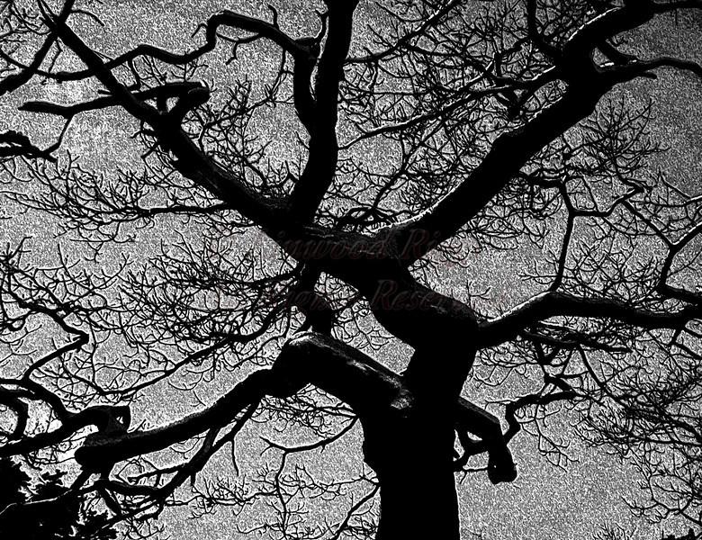 Morse-Mt-tree-B&W-fresco-10x13